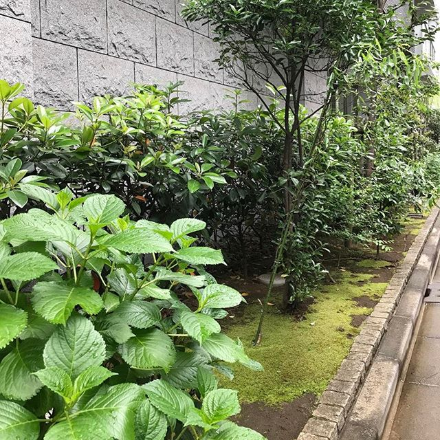 【銀座の緑】アジサイがきれいになる季節までもう少し^^#銀座 #清水空
